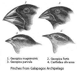 Darwinsvinken evolutie